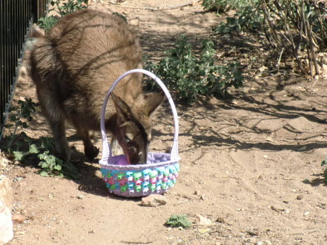 A Wallaby Gets a Basket 2011