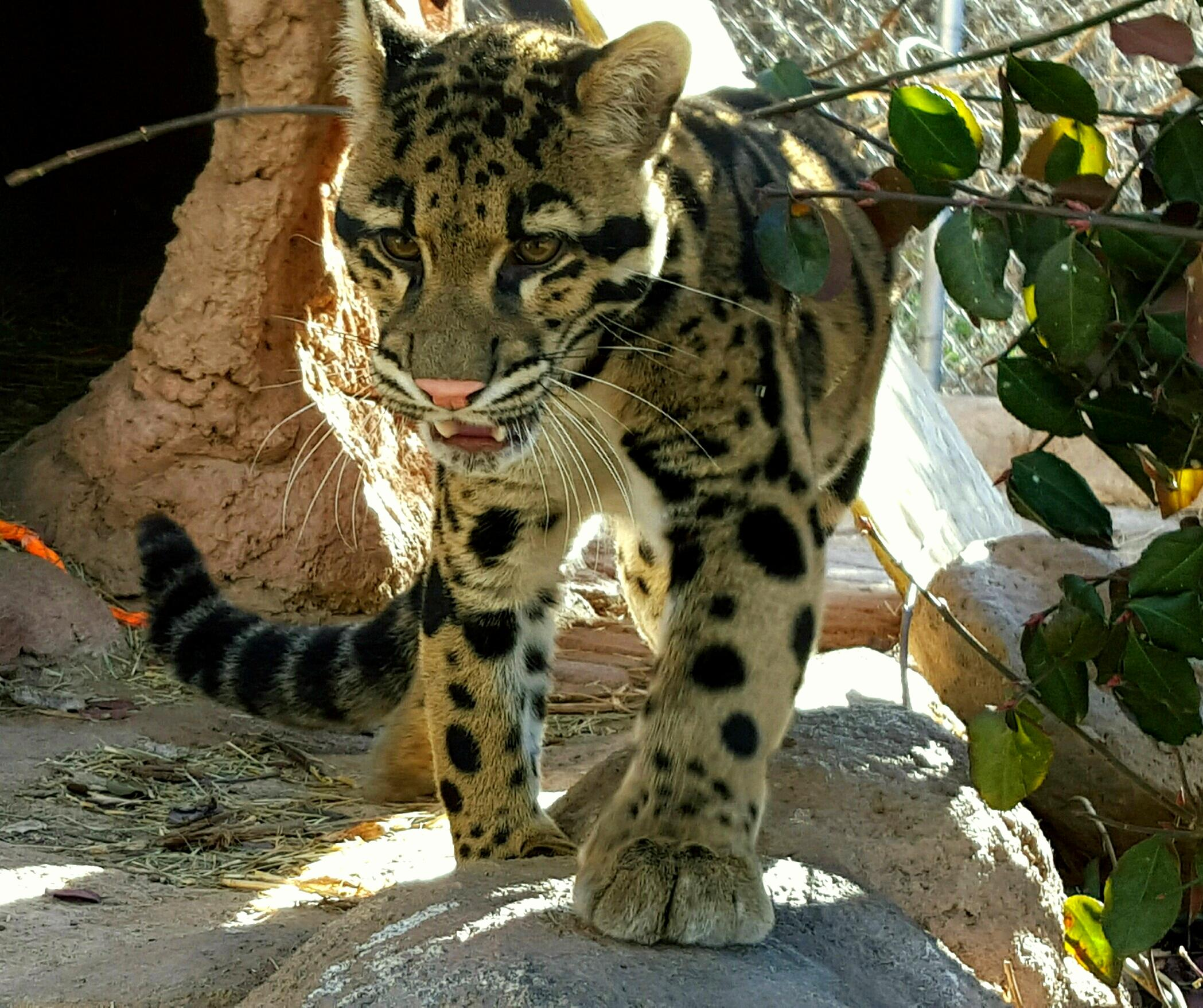 Clouded Leopards 12