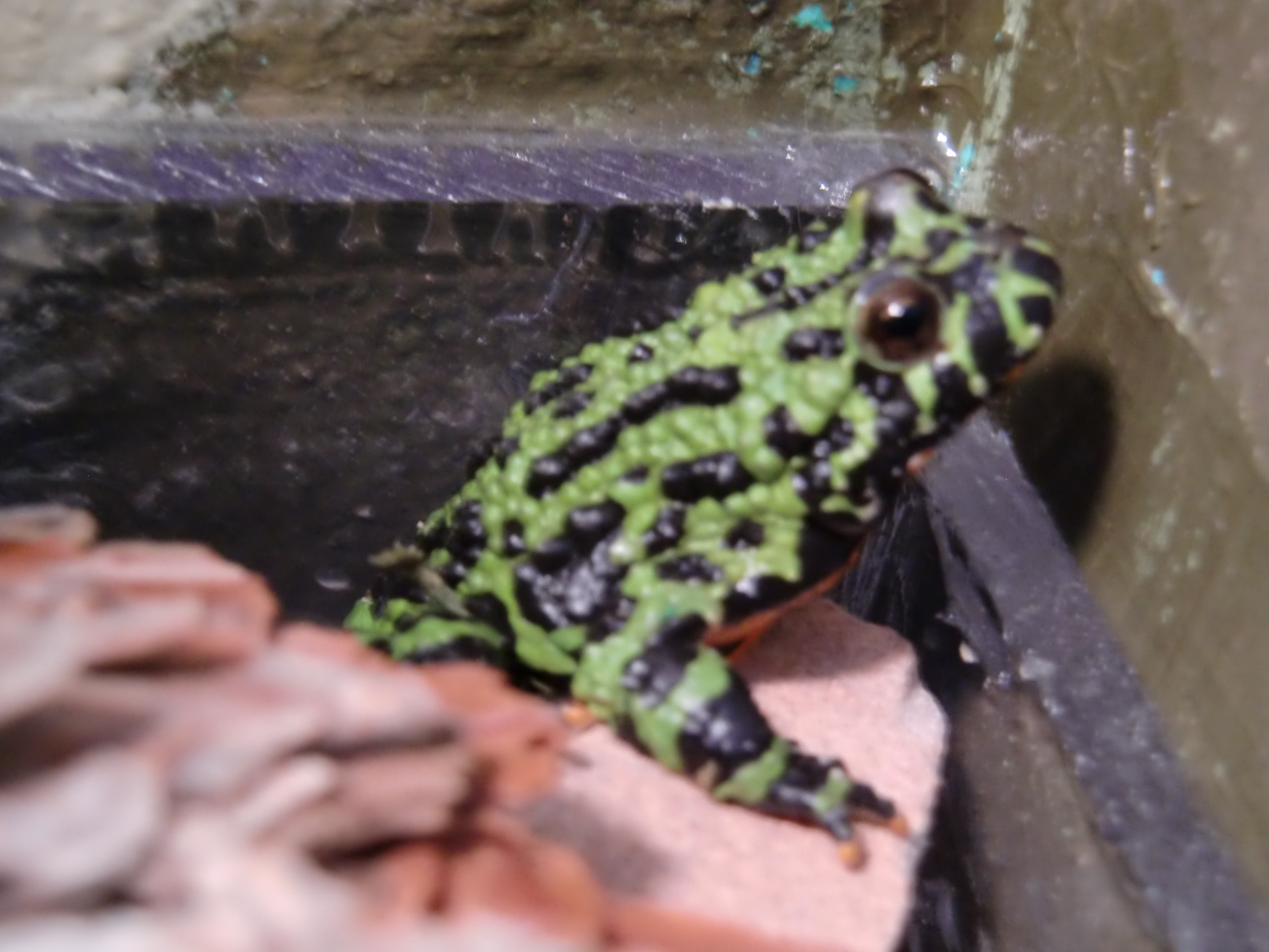 fire-bellied-toad001