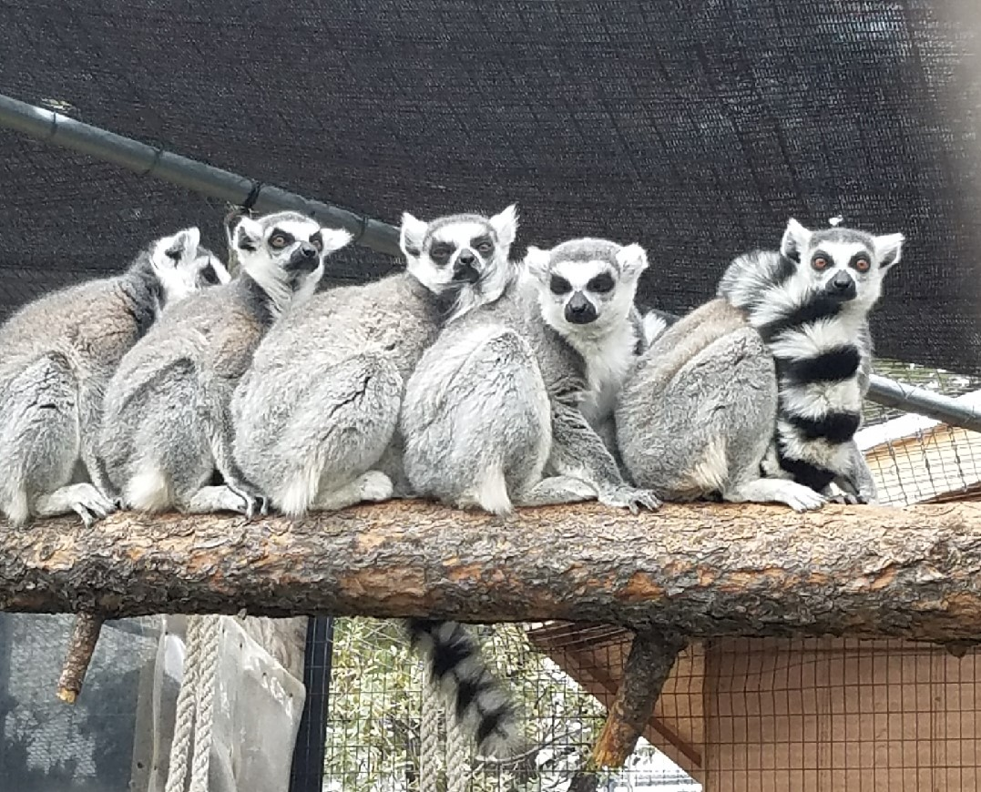 lemurs all together